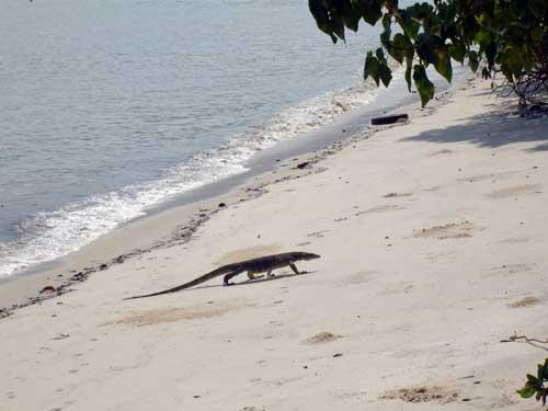 sand diving lizard
