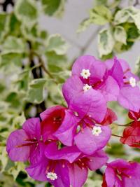 garden flowers in Perak
